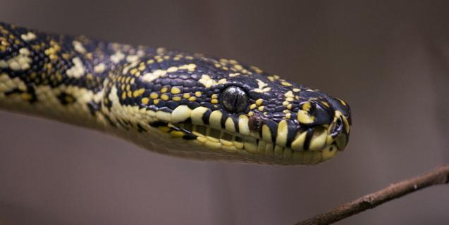 Coastal Carpet Pythons in Darwin