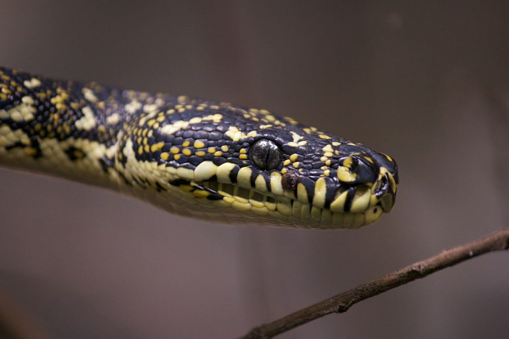 Coastal Carpet Pythons In Darwin The Ark Animal Hospital
