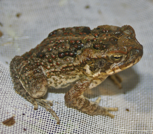 Common Cane Toad (Image: Wikipedia)