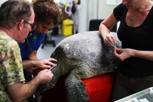 Sea turtle being treated - Wildlife Rescue Darwin